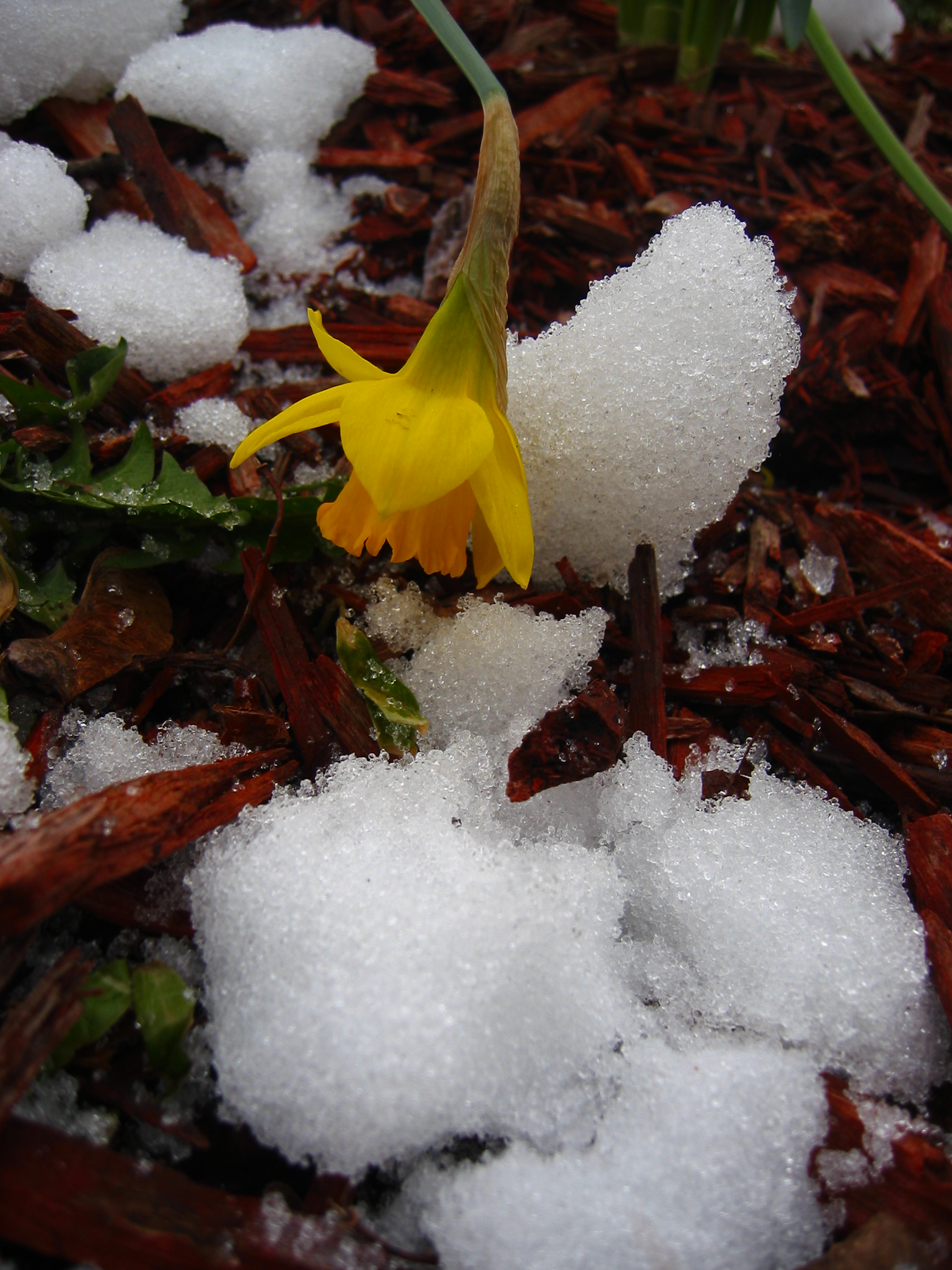 Daffodils in snow  - soul amp