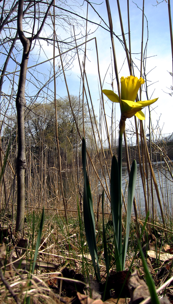 Daffodils in WI Spring by a pond. Photo - soul-amp.com